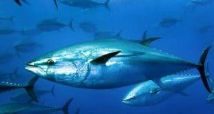 أسرع أنواع الأسماك من حيث السباحة فى العالم كله مع صورها