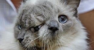 قطط غريبة تمتلك أشكال لم يسبق لك أن شاهدتها تعرف عليها مع صورها